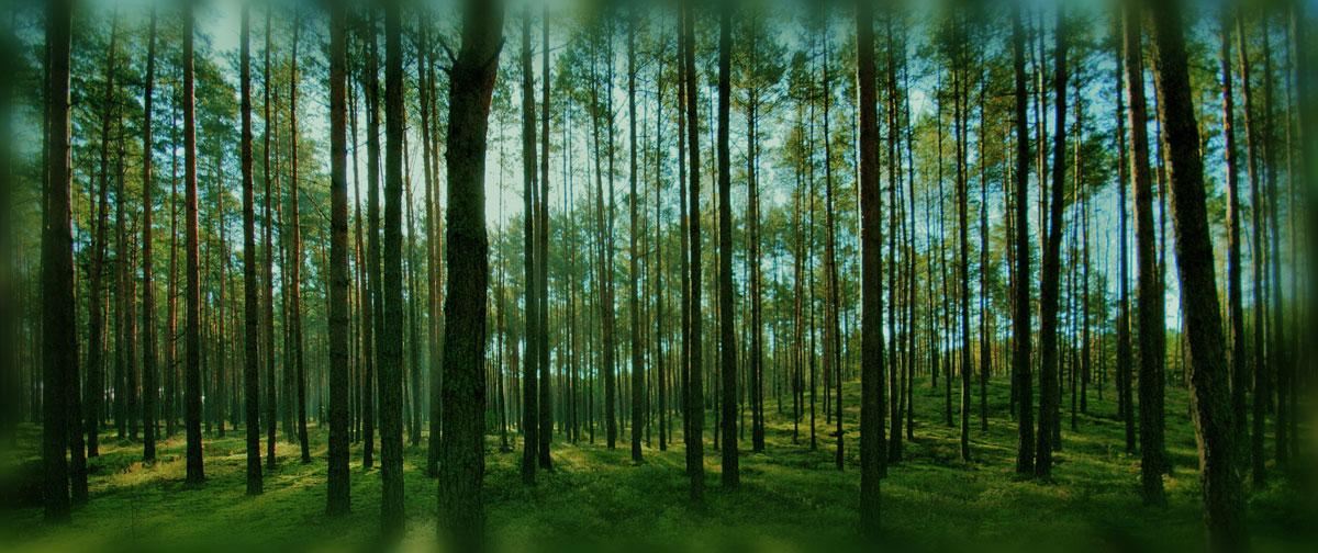 Einige interessante Fakten über unser bevorzugtes Bauholz für Gartenhäuser– Die Nordische Fichte